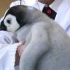 もふもふのペンギン、ぬいぐるみみたい。。